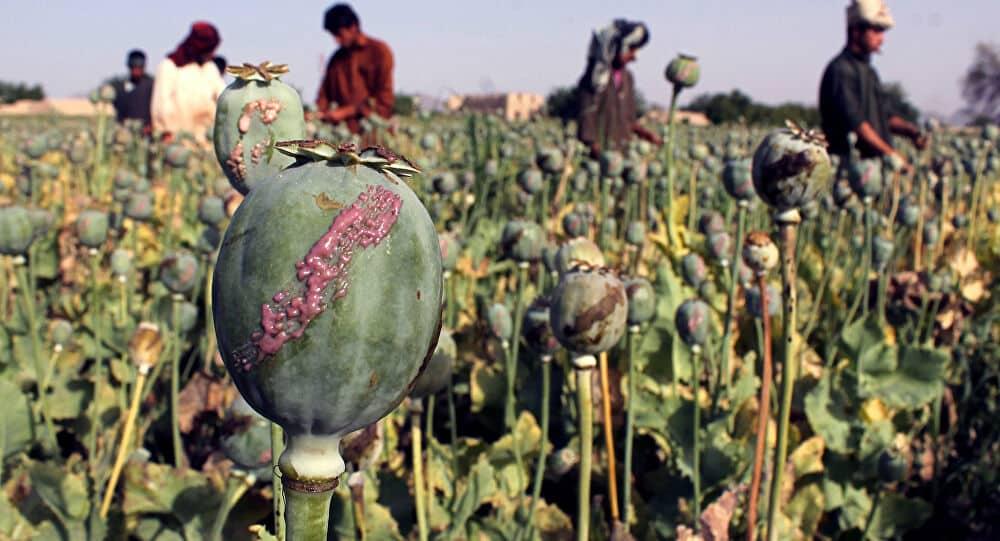 Afghans harvesting opium poppy